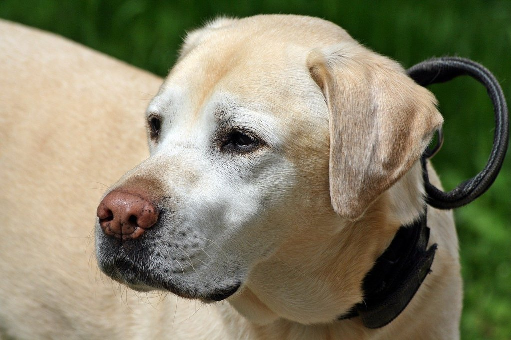 Service-Detection Dogs