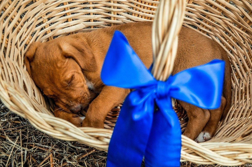 Puppy As A Gift: Tips When Giving A New Puppy As A Present