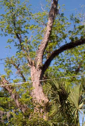 Pecan tree, full