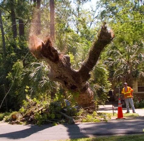 Pecan tree falling