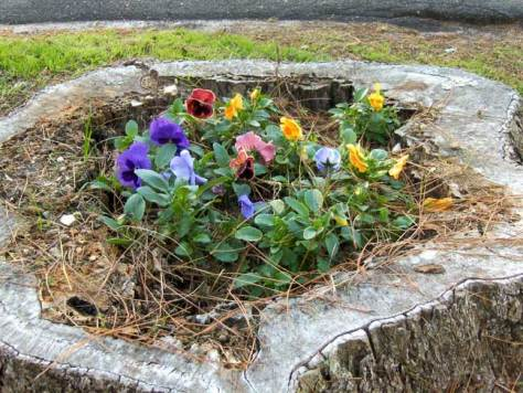 Pecan stump pansies
