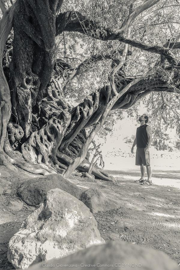 Un ulivo vecchio più di 500 anni in bassa California