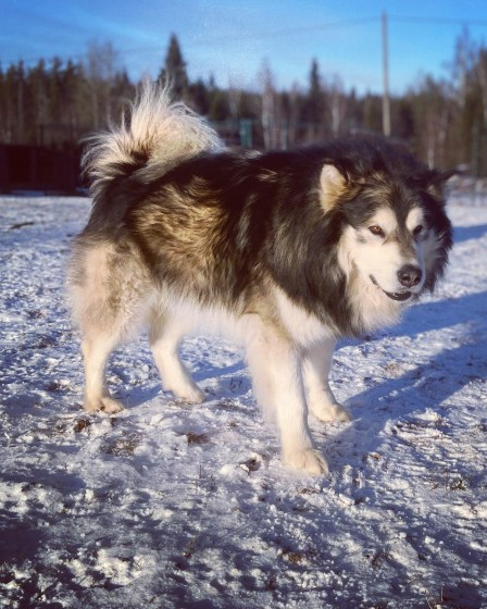 Alaska Malamuut