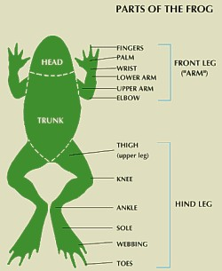 Frog Integumentary System Diagram Information And Facts On The Anatomy Of Amphibians
