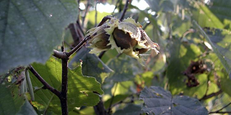 In this image provided by Lee Reich shows hazelnut plants in New Paltz, NY. In late summer, gardeners, squirrels, chipmunks eagerly wait for hazelnuts to ripen in their husks and then drop to the ground. (Lee Reich via AP)