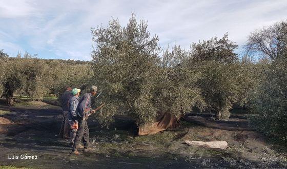 La IGP «Aceite de Jaén» reconocida por la Unión Europea