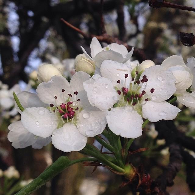 raindrops on blossom