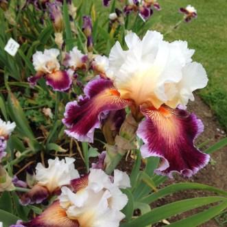 sch iris 1