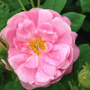 sch pink rose