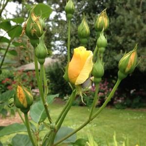 sch rose bud