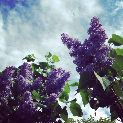 lilacs and june sky