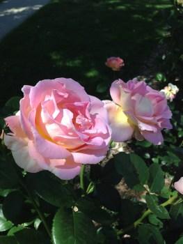sunlit pink
