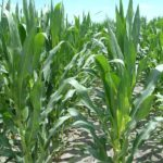 west-central-illinois-farm-for-sale-shank-farm_cornfield