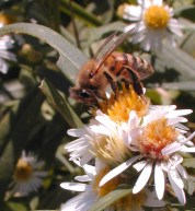 Honey Bee on Daisy