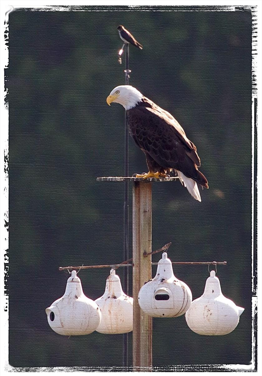 EaglePrple