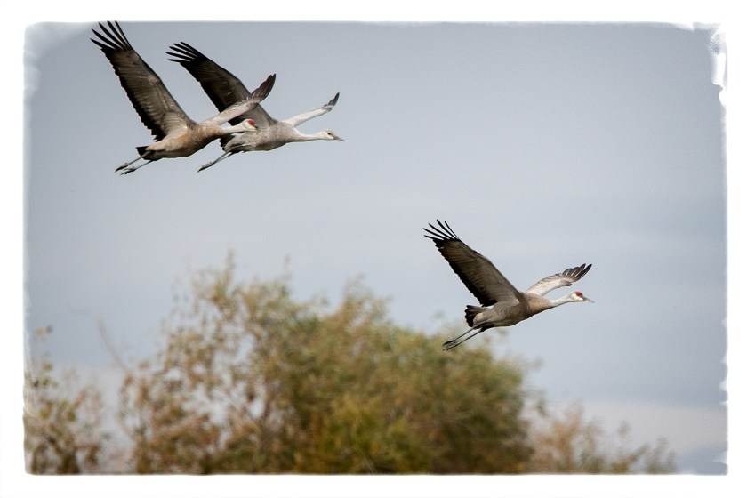 cranesflyng1