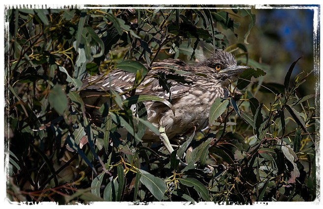 Night Heron fledgling