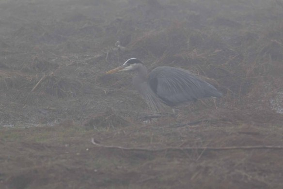 Grey Heron in Heavy Fog