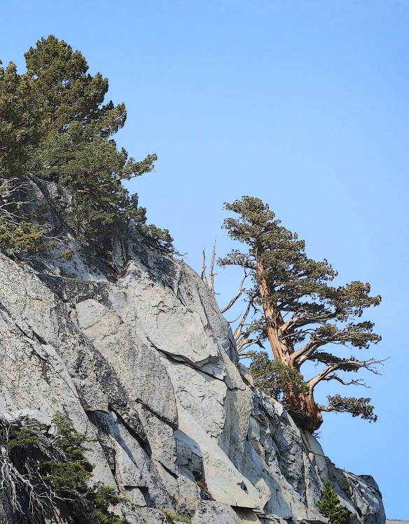 YosemiteTree3