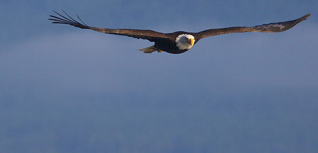 Low Flying Eagle From The