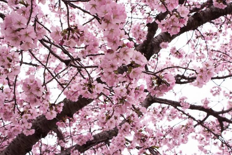 Cherry Blossom season in DC 2017