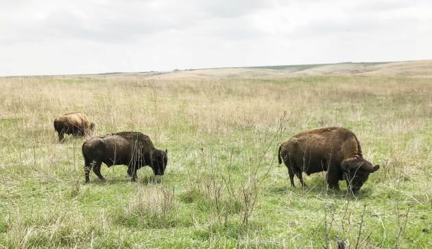 Buffaloes graze on the plain. (Photo by Rebecca Sallee Hanson)