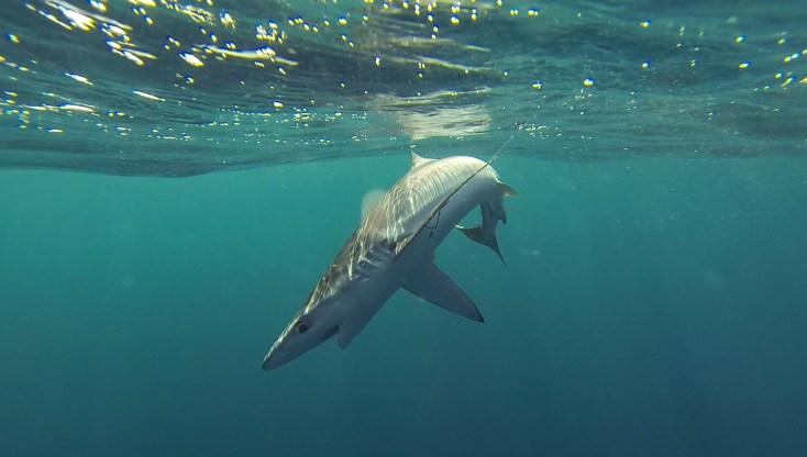 pêche au requin peau bleue à Lorient