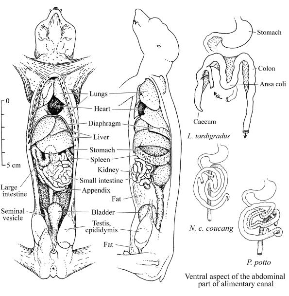 Loris and potto anatomy: intestine