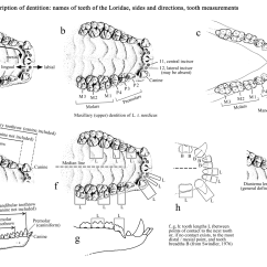Diagram Of Teeth And Their Numbers 1990 Jeep Wrangler Ignition Wiring Names Tooth Parts Diastema Lengths In Lorises