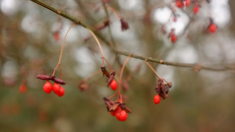 winterberries2