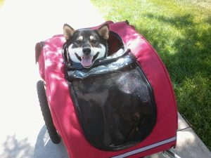 Kuma goes bicycling with his humans
