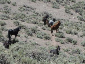 Mustangs roaming free