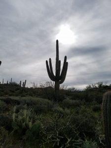 Spur Cross Saguaros
