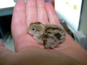 Holding a baby quail