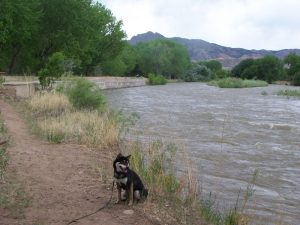 Kuma walks the Arkansas River