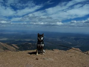 Kuma on top of Pikes Peak