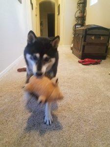 Kuma loves to play