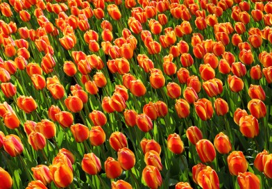 Torna Messer Tulipano