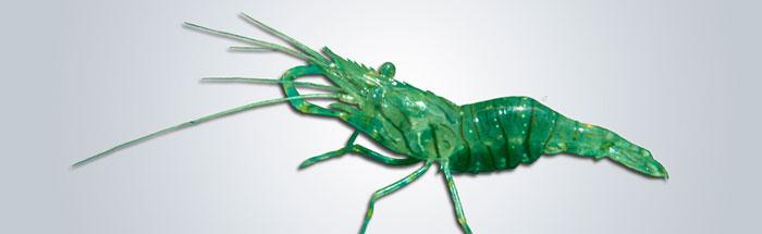 CAMARÓN---Palaemon-elegans