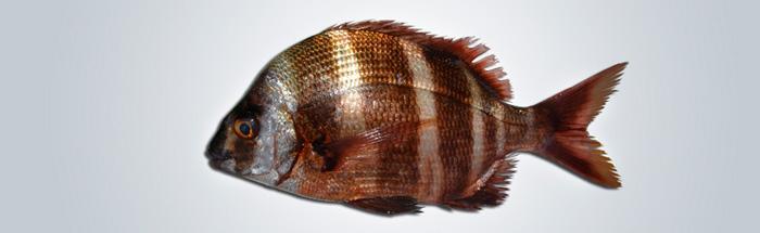 Urta-Holandesa---Diplodus-cervinus-cervinus