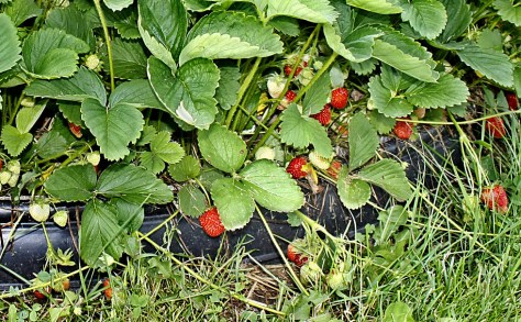 The strawberries we started last year are starting to bear the first fruit of the season.