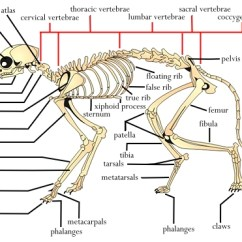 Fetal Pig Diagram With Labels Carrier 30ra 200 Wiring استخوان بندی گربه