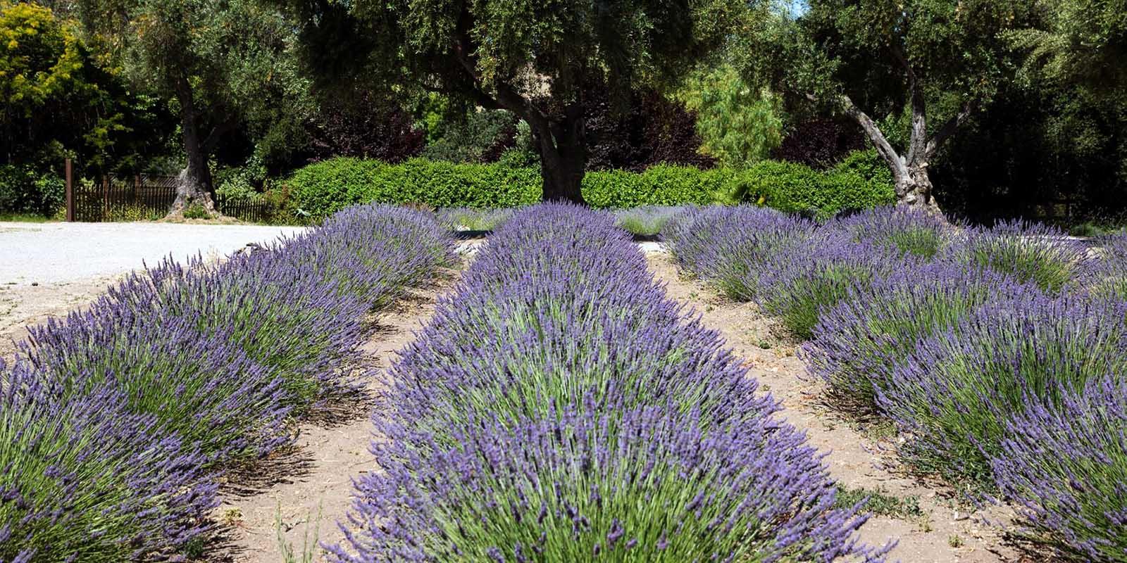 Clairmont Lavender Farm in Los Olivos, CA