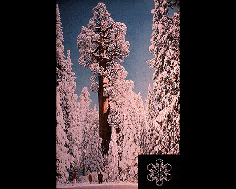 049 - Snowflake over Sequoia, Josef Muench, R Sisson
