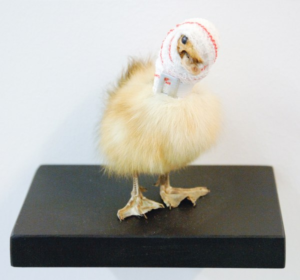 Pascal Bernier - Accident de chasse, poussin - Taxidermie