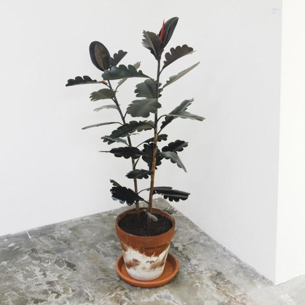 Reinier Lagendijk - Ficus Quercus Elastica - 120cm, Fices Elastica