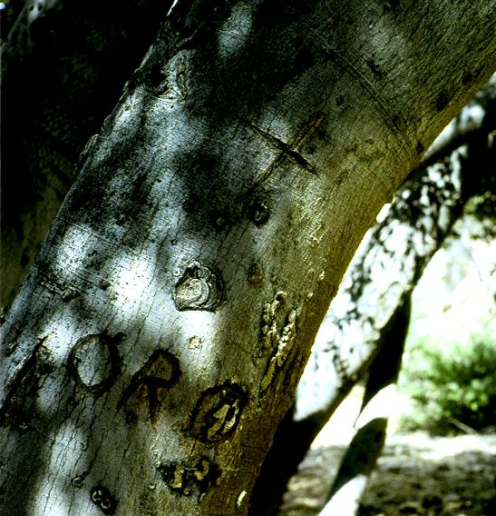 Treasure signs on a tree in the Caballo Mountains of New Mexico, probably carved by Doc Noss or possibly even Willie Douthit or Buster Ward.