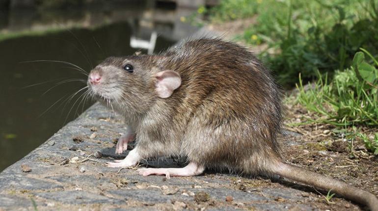 Estas son las enfermedades que transmiten las ratas y ratones ...