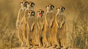 Meerkats bipedalism, looking for possible threats