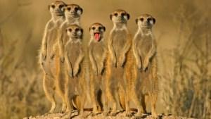 Meerkats bipedalism, looking for possible threats
